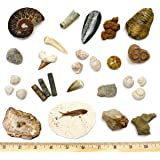 Dancing Bear Fossil Collection Set, 20 Real Premium Specimens: Trilobite, Ammonite, Fish Fossil, Shark Tooth, Petrified…