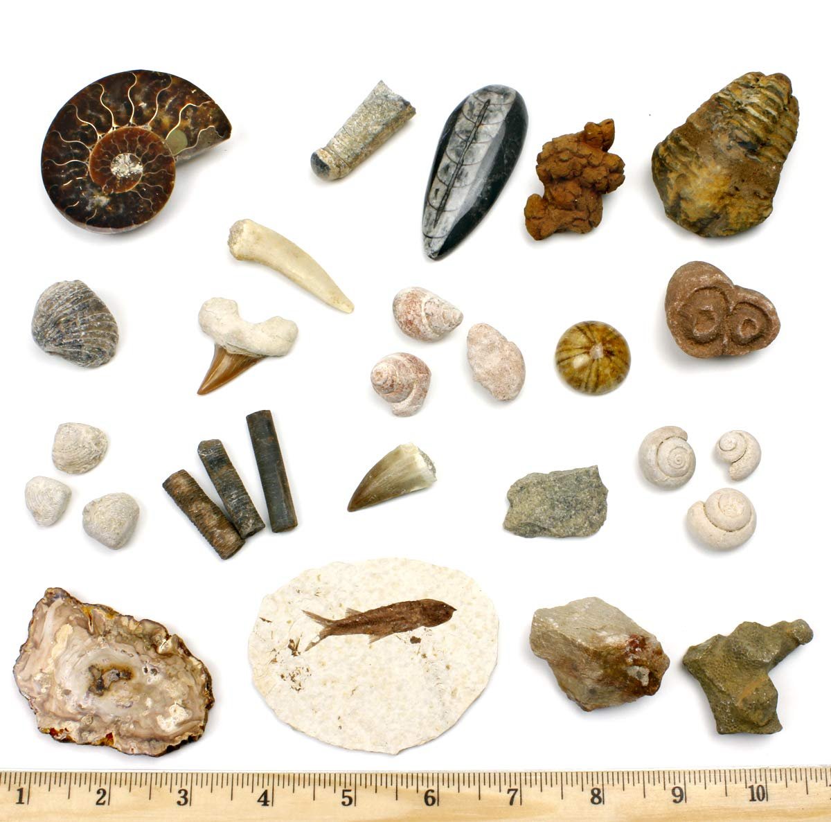 Dancing Bear Fossil Collection Set, 20 Real Specimens: Trilobite, Ammonite, Fish Fossil, Shark Tooth, Petrified Wood, Dinosaur Bone, Fossil Book, Time Scale, ID Cards, Magnifying Glass, Science Kit by Dancing Bear
