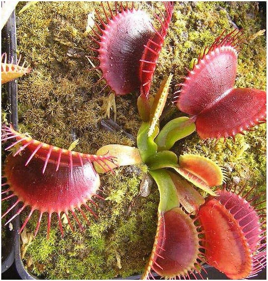 Exotic Plants Dionaea muscipula G14 Dirk Venthams Giant - dionea atrapamoscas o Venus atrapamoscas - 5 Semillas