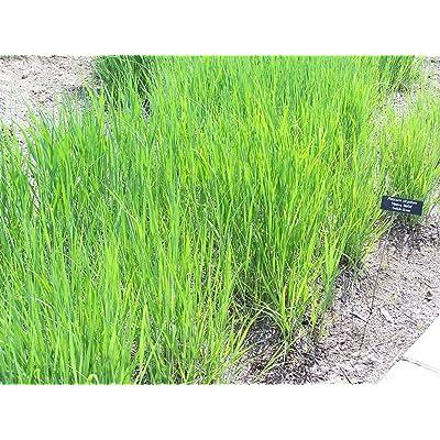 1 oz Seeds (Approx 14669 Seeds) of Panicum virgatum Forestburg, Switch Grass : Garden & Outdoor
