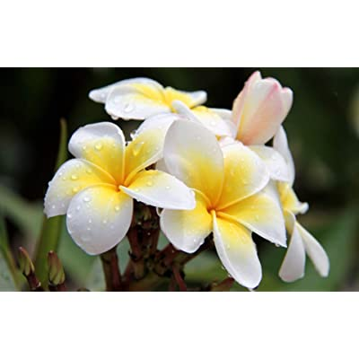 Hawaiian White Plumeria Plant Cutting Unrooted 1 Plumeria Slip : Garden & Outdoor