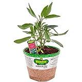 Bonnie Plants 5100 Garden Sage Herb Plant