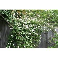 Go Garden 5 White Climbing Rose Rosa Bush Vine Climber Fragrant Butterfly Flower Seeds