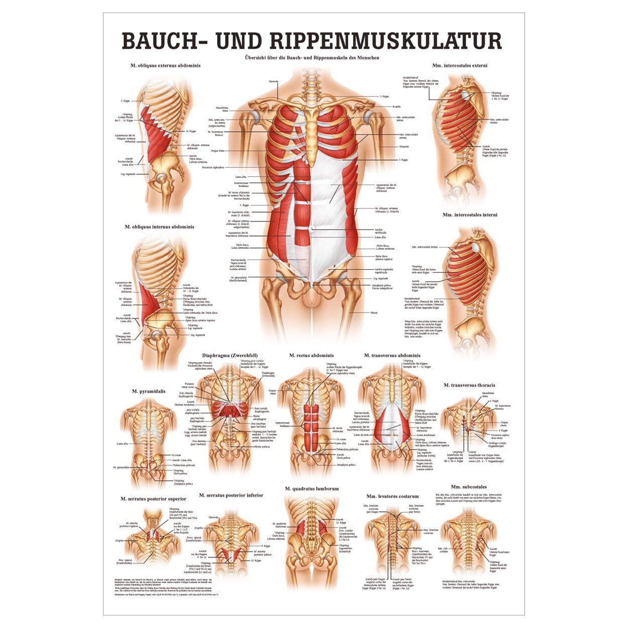 Bauch- und Rippenmuskulatur Mini-Poster Anatomie 34x24 cm med ...