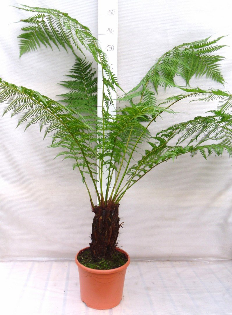 Dicksonia antarctica - Baumfarn mit Palmähnlichem Stamm - verschiedene Größen (130-150cm - Stamm 40-50cm - Ø 35cm - 17 Ltr)