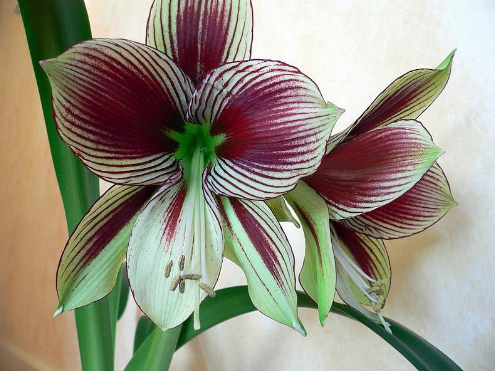 Papilio Butterfly Amaryllis Large Bulb - With Nature Blue Plant Food