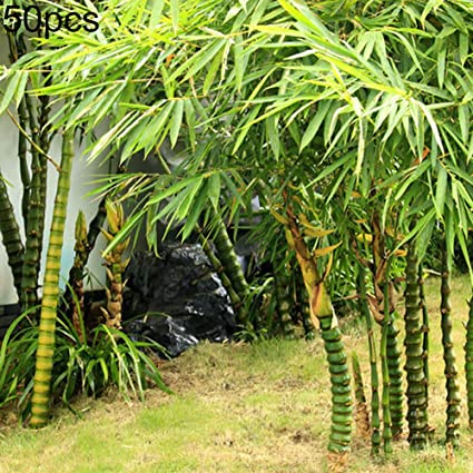 Edible Bamboo Shoots, 75 Seeds Chinese Bamboo Seeds,Perfect Ornamental DIY Home Garden Plant
