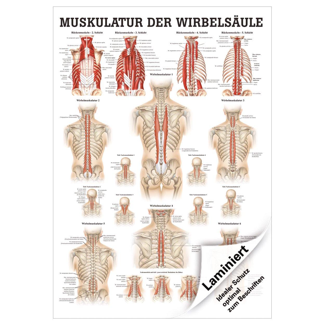 Muskulatur der Wirbelsäule Poster Anatomie 70x50 cm medizinische ...