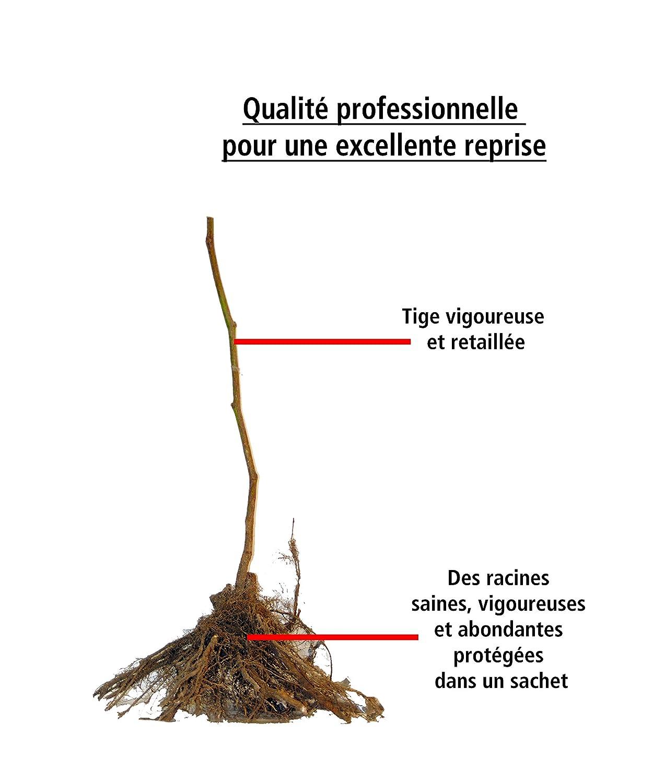 Willemse France M/ûre Reuben