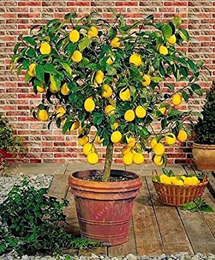 Amazon Com 30pcs Bag Organic Meyer Lemon Tree Certified So
