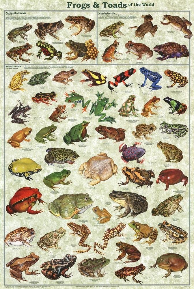 Picture Peddler Frogs & Toads of the World Laminated Educational Science Classroom Chart Print Poster 24x36