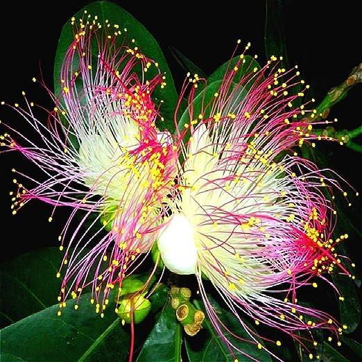 Kisshes Semillas de flores de narcisos naturales Semillas de flores de plantas de jardín Flores: Amazon.es: Jardín