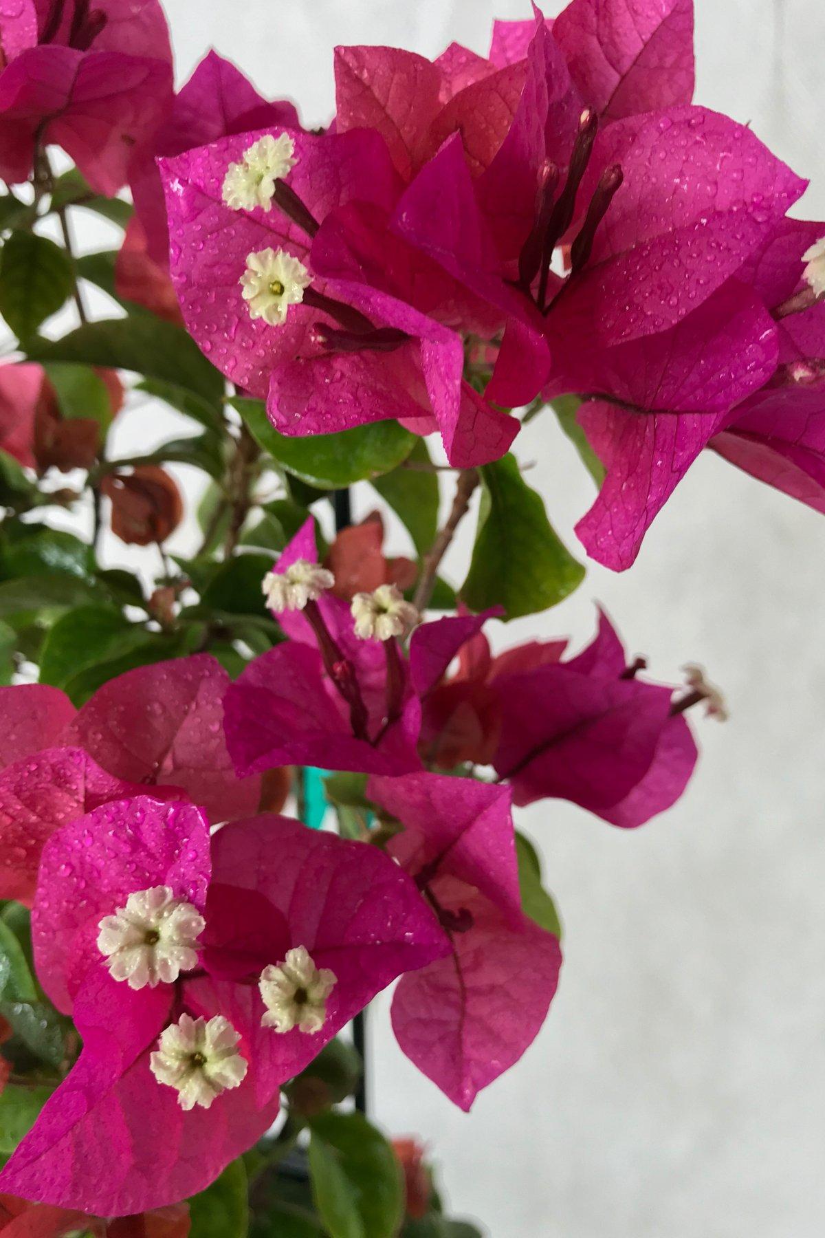 Helen Johnson, Bougainvillea Plant (flowers, hanging basket, bush, trellis, patio tree, vine) (5 Gal Trellis)
