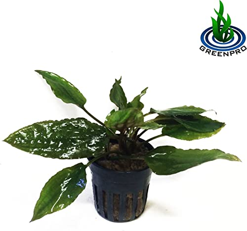 Greenpro-Cryptocoryne-Usteriana-RED-Crypt-Potted-Plant