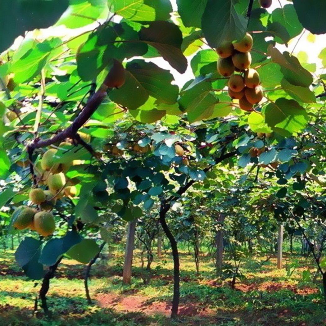Edited 50 STÜCKE Actinidia Chinensis Samen Kiwis Samen Süße Frucht Haus Garten Pflanzen, Kiwi selbstfruchtend Actinidia chinensis, Kiwi