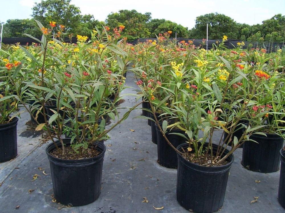 PlantVine Asclepias spp, Milkweed, Butterfly Flower - Large - 8-10 Inch Pot (3 Gallon), Live Plant by PlantVine (Image #2)