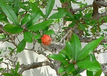 SAFLAX - Granado enano - 50 semillas - Punica granatum nana ...