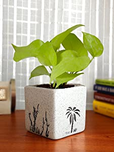 Rolling Nature Good Luck Air Purifying Live Golden Money Plant in White Square Aroez Ceramic Pot