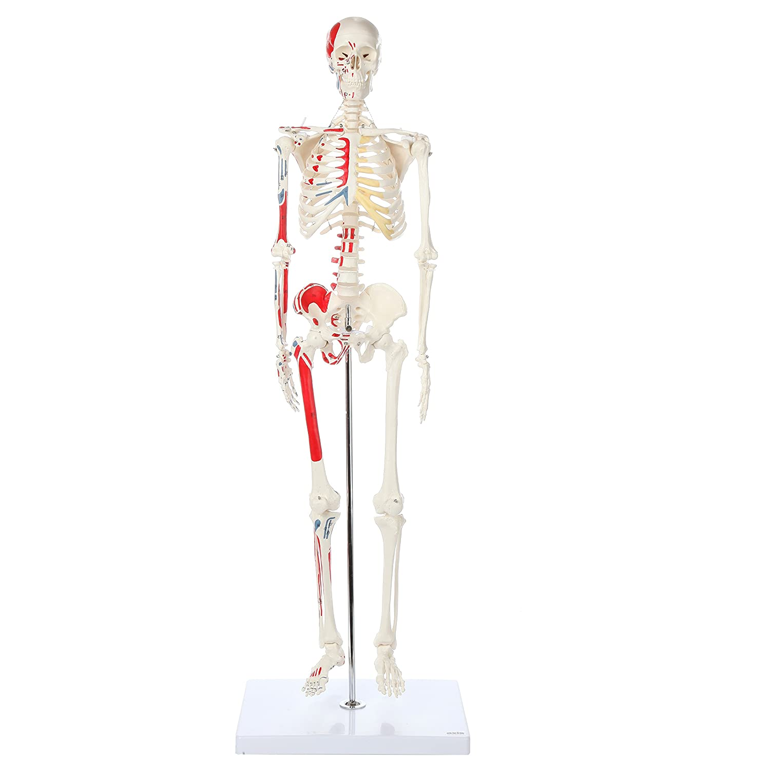 Axis Scientific Mini Human Painted Skeleton Model with Metal Stand   31 Inches Tall with Removable Arms and Legs is Easy to Assemble   Includes Detailed Product Manual   3 Year Warranty