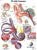 3B Scientific VR3243UU Impreso En Papel, el Oído Humano