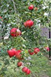 Pixies Gardens Russian Pomegranate Tree, considered The Sweetest of All Pomegranates (1 Gallon, Potted)
