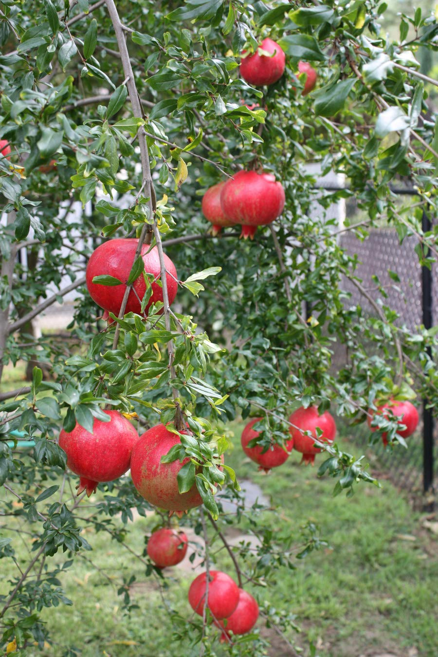 (3 Gallon Bare-Root Set of Two Plants) Russian Pomegranate Tree, considered The Sweetest of All Pomegranates. Very Cold and Heat Tolerant, Produces Very Sweet red Fruit. by Pixies Gardens