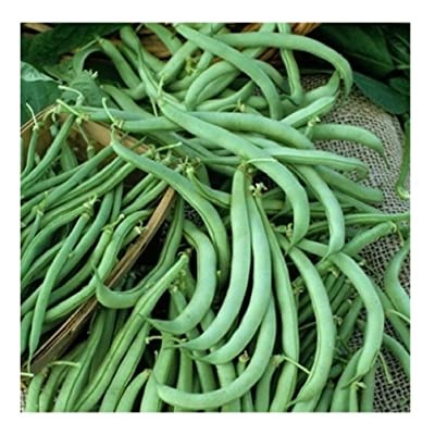 David's Garden Seeds Bean Bush Tendergreen SL8I71 (Green) 100 Non-GMO, Heirloom Seeds : Garden & Outdoor