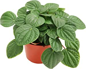 """Peperomia 'Rana Verde' (Rippled Chinese) - 6"""" from California Tropicals"""