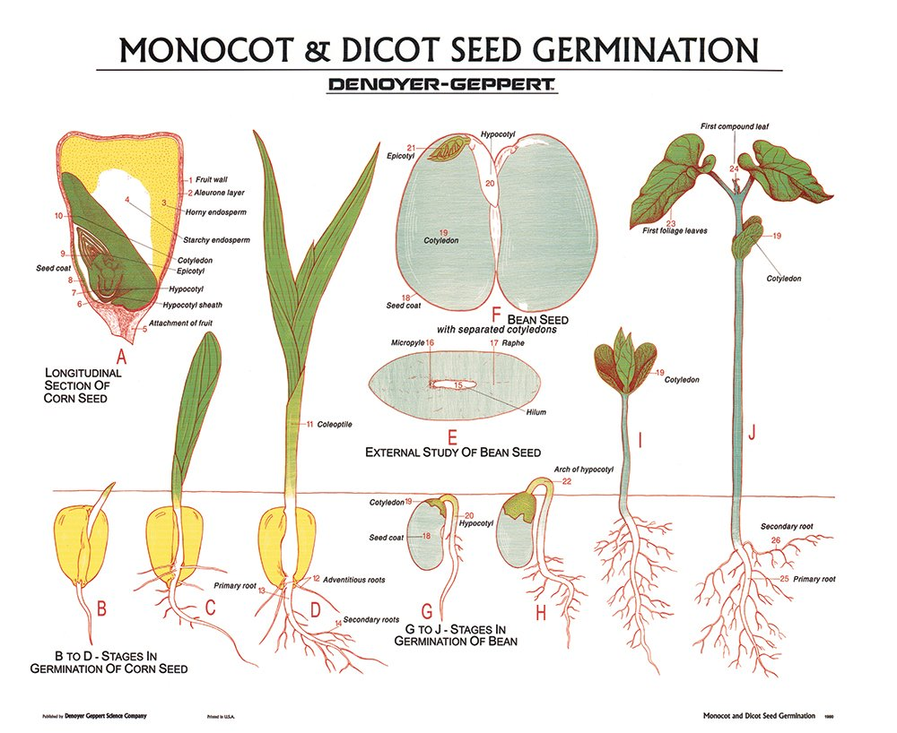 Germination Of Seeds Wall Chart Unmounted Amazon Com