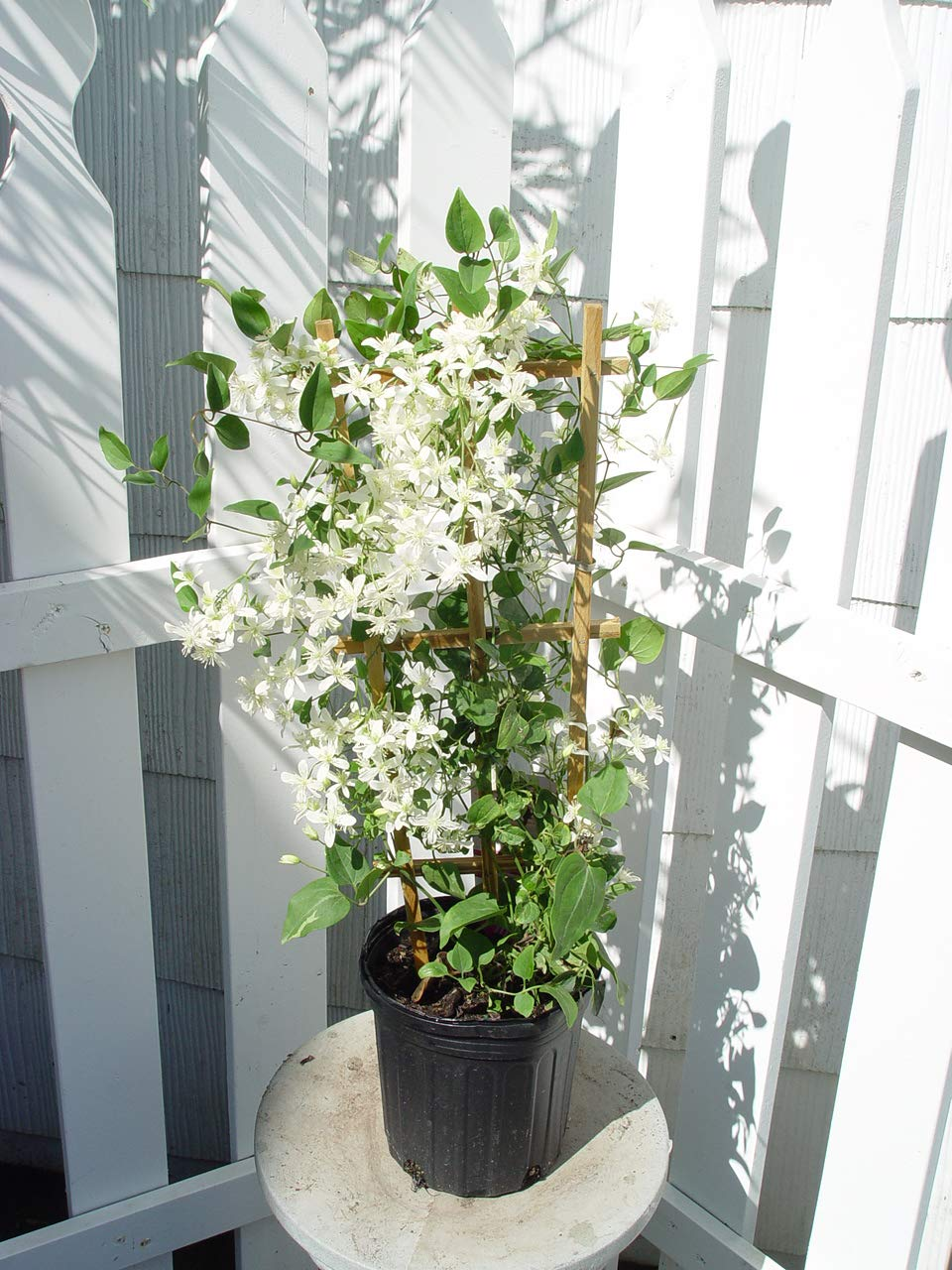 Clematis paniculata (Sweet Autumn Clematis) Perennial, white flowers, 8`` - Size Container