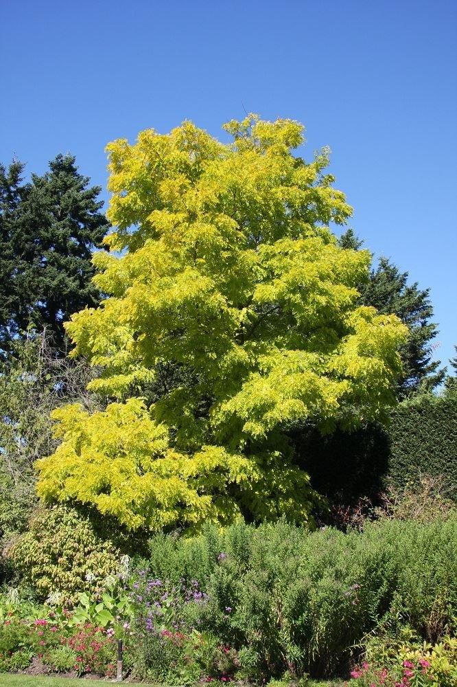 Robinia pseudoacacia 'Frisia' tree in a 12L container Perfect Plants