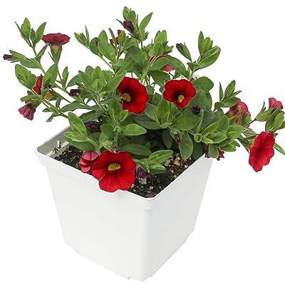 "Calibrachoa - 4.5"" Pot - 3 Pack - Live Plants – 8 Colors Available – (Red) : Garden & Outdoor"