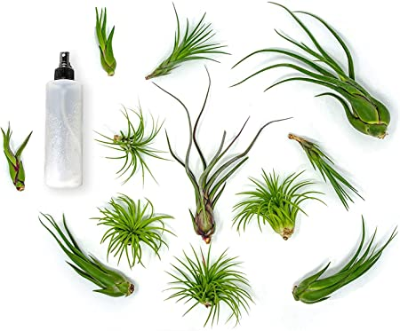Amazon Com Plants For Pets 24 Air Plant Variety Pack Large Tillandsia Terrarium Kit With Spray Bottle Mister For Water Fertilizer Assorted Live Airplants Garden Outdoor