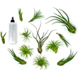 Plants for Pets 24 Air Plant Variety Pack | Large Tillandsia Terrarium Kit with Spray Bottle Mister for Water Fertilizer…