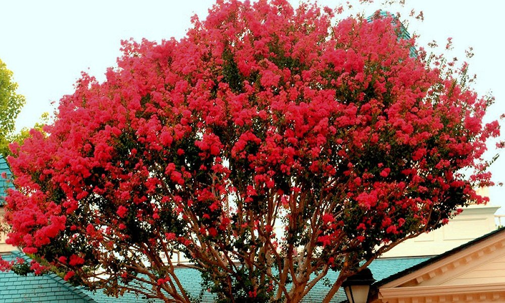 The Crape Myrtle Company LARGE CAROLINA RED CRAPE MYRTLE, 2-4ft Tall When Shipped, Matures 22ft,1 tree, Beautiful Bright Cherry Red (Shipped Well Rooted in Pots with Soil)