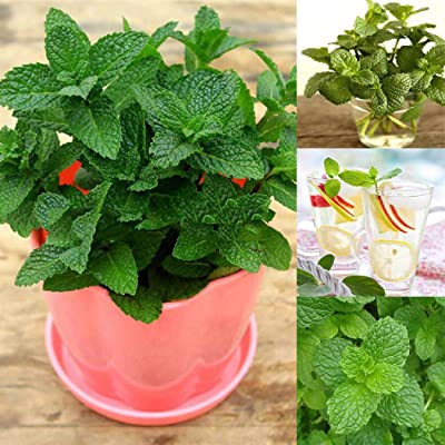 Determina Garden - 100PCS Peppermint + Spearmint Seeds for Garden Home Planting Organic Natural Herb Plants Seeds: Clothing