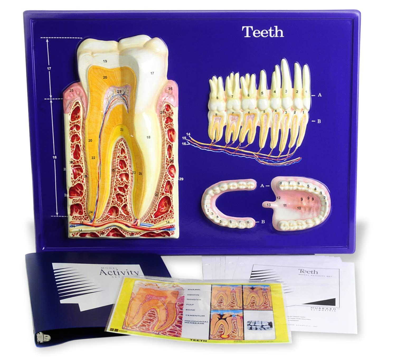 American Educational Teeth Model Activity Set by American Educational Products (Image #1)