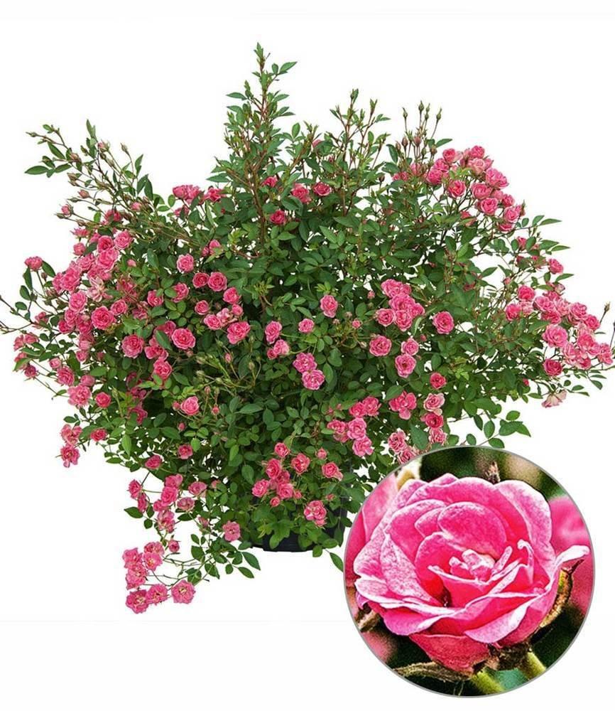 Blumen Baldur Garten Lilly Rosewonder5 Garten Balkonpflanzen 1