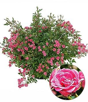 BALDUR Garten Lilly Roseu0026quot;Wonder5u0026quot;, 1 Pflanze Balkonrose Für Töpfe  Und Kübel