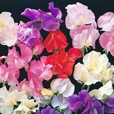 Earth Seeds Co 100 Pcs Sweet Pea 'T&M Prize Strain Mixed' Seeds, Breathtaking Scented Flowers, Hardy Annual Flower Plants Seeds Ideal for Garden : Garden & Outdoor