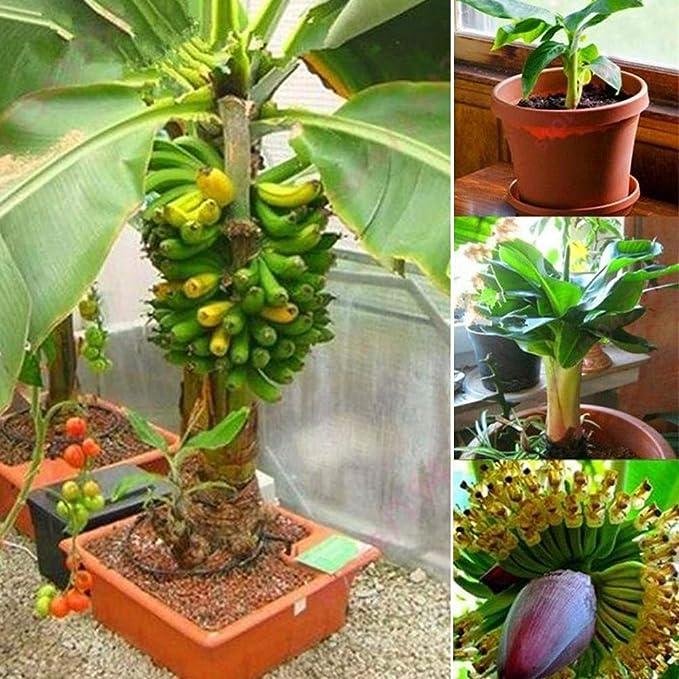 100pcs Rainbow Banana Seeds Delicious Bonsai Fruit Plants Home Garden Decor LL