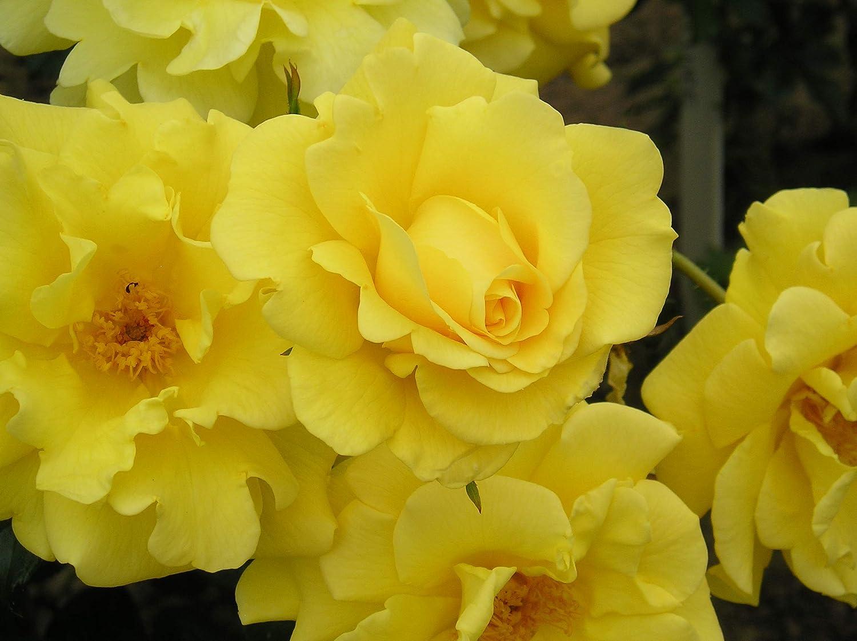 5.5lt Potted Climbing Garden Rose Repeat Flowering Blooms GARDENERS GLORY Fragrant Deep Yellow