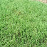 Giant Bermuda Grass Seed ''Hulled'' 5 Lbs. ( Alternative for Coastal Bermuda )