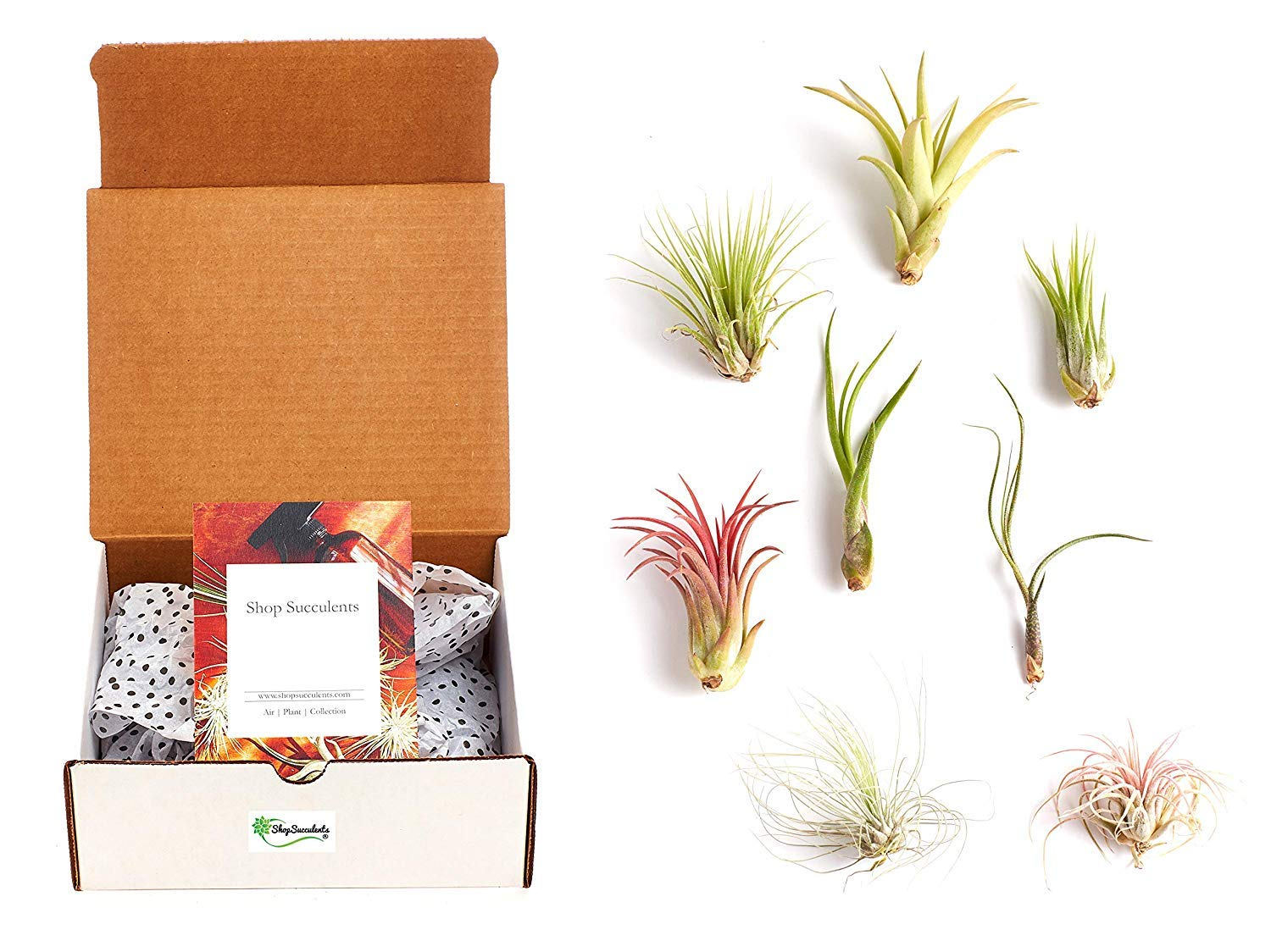 6 Live Air Plant Variety Pack | Tillandsia Air Plant Terrarium Kit with Free Amber Spray Bottle Mister for Water or Air Plant Fertilizer | Assorted Species Air Plant Kit