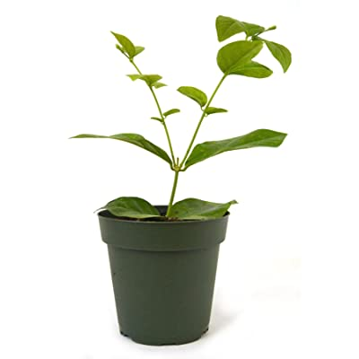 9GreenBox - Arabian Jasmine - 4'' Pot Live Plant Ornament Decor for Home, Kitchen, Office, Table, Desk - Attracts Zen, Luck, Good Fortune - Non-GMO, Grown in The USA : Garden & Outdoor