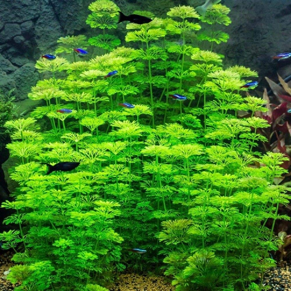like cabomba Biotope Aquatics Ltd Live Aquarium Plant fish tank fern decoration LIMNOPHILA SESSILIFLORA 20 tropical or coldwater