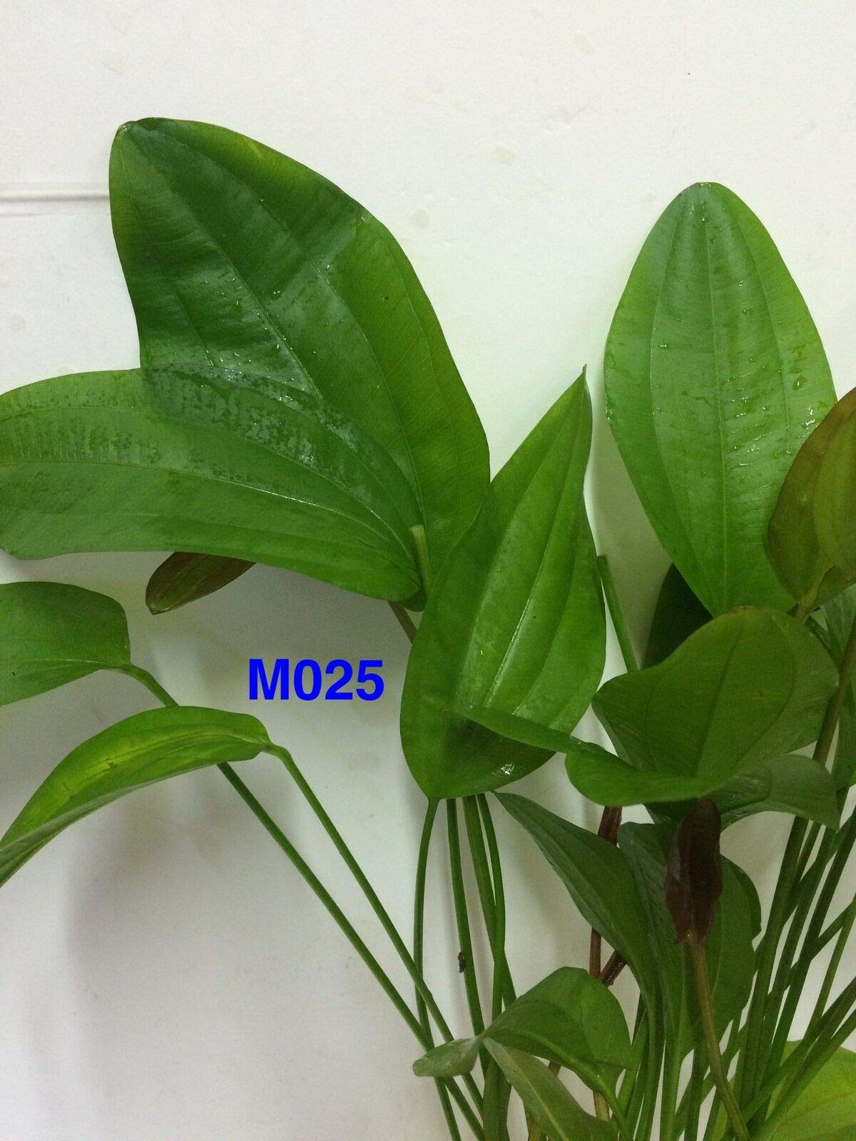 Echinodorus 'Rose' Mother Pot Live Aquatic Fresh Water Plant M025 jKE -130