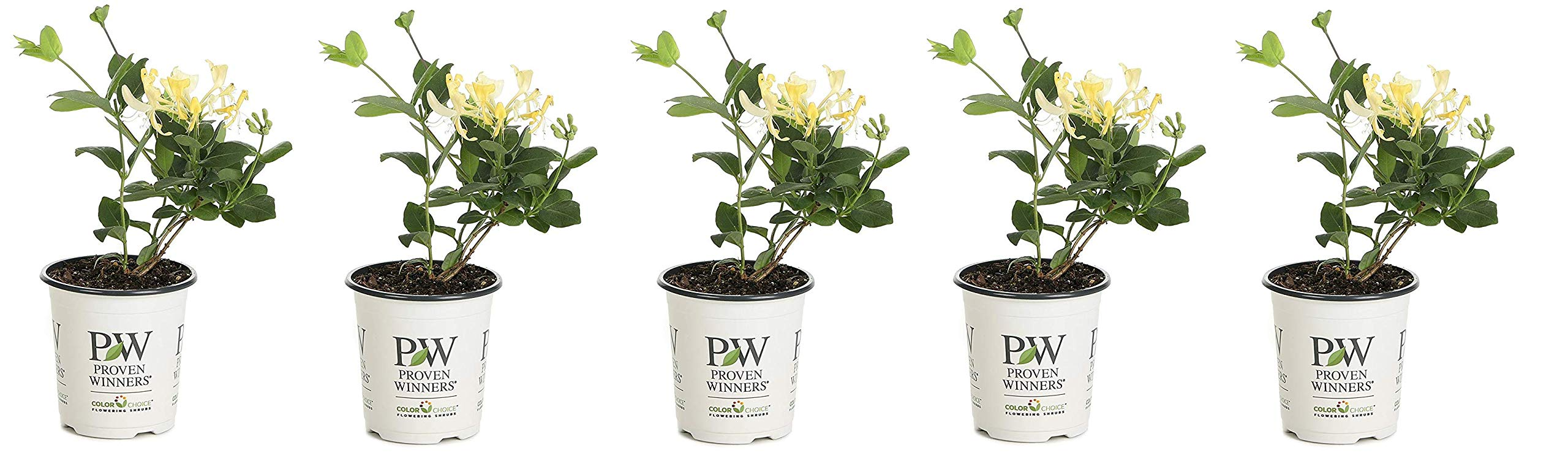 4.5 in. qt. Scentsation Honeysuckle (Lonicera) Live Shrub, Yellow Flowers and Red Berries (Fivе Расk)