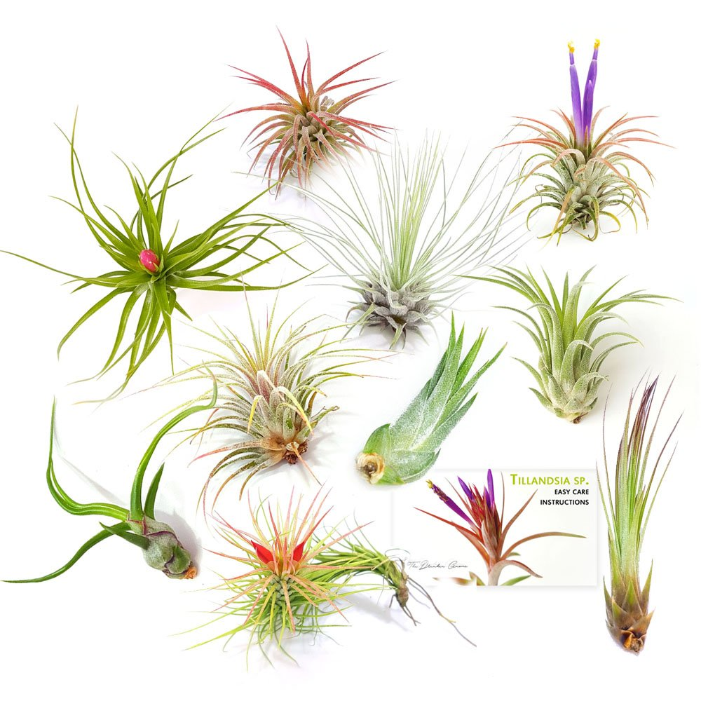The Drunken Gnome Tillandsia Air Plants, Small (10-Pack Assorted)