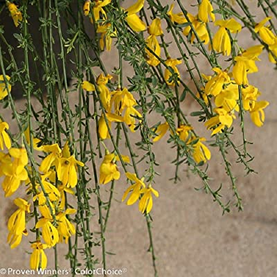 "Sister Golden Hair Scotch Broom - 4"" Pot - Cytisus - Proven Winners by AchmadAnam : Garden & Outdoor"